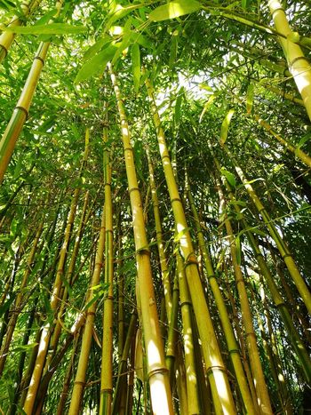 Bamboo - Plant Tree Bamboo Grove Green Color Bamboo Trees Bamboo Tree Bamboos Palmengarten Frankfurt Bamboo Grove Tree Forest Outdoors Backgrounds No People Beauty In Nature Nature Beauty In Nature Nature_ Collection  Nature Photography Naturephotography Nature_perfection Nature Collection Nature Lover Nature Green Nature EyeEmNewHere