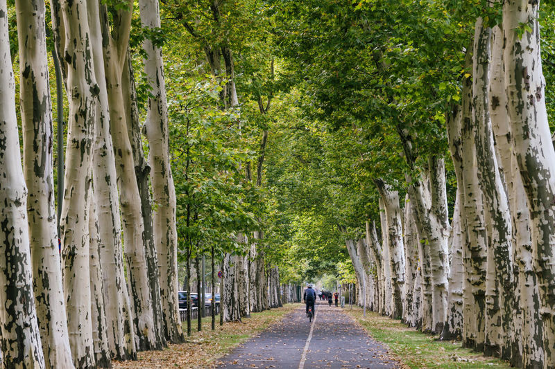 Berlin, Germany, October 09, 2018: Famous Puschkinallee Through Treptow Park Berlin Germany 🇩🇪 Deutschland Color Image Horizontal No People Outdoors Tree Plant Day Nature Road Transportation Treelined Plane Tree Sycamore Tree Puschkinallee Treptower Park Treptow Park History Soviet War Memorial Trunk Tree Diminishing Perspective Bicycle Lane Bicyclist