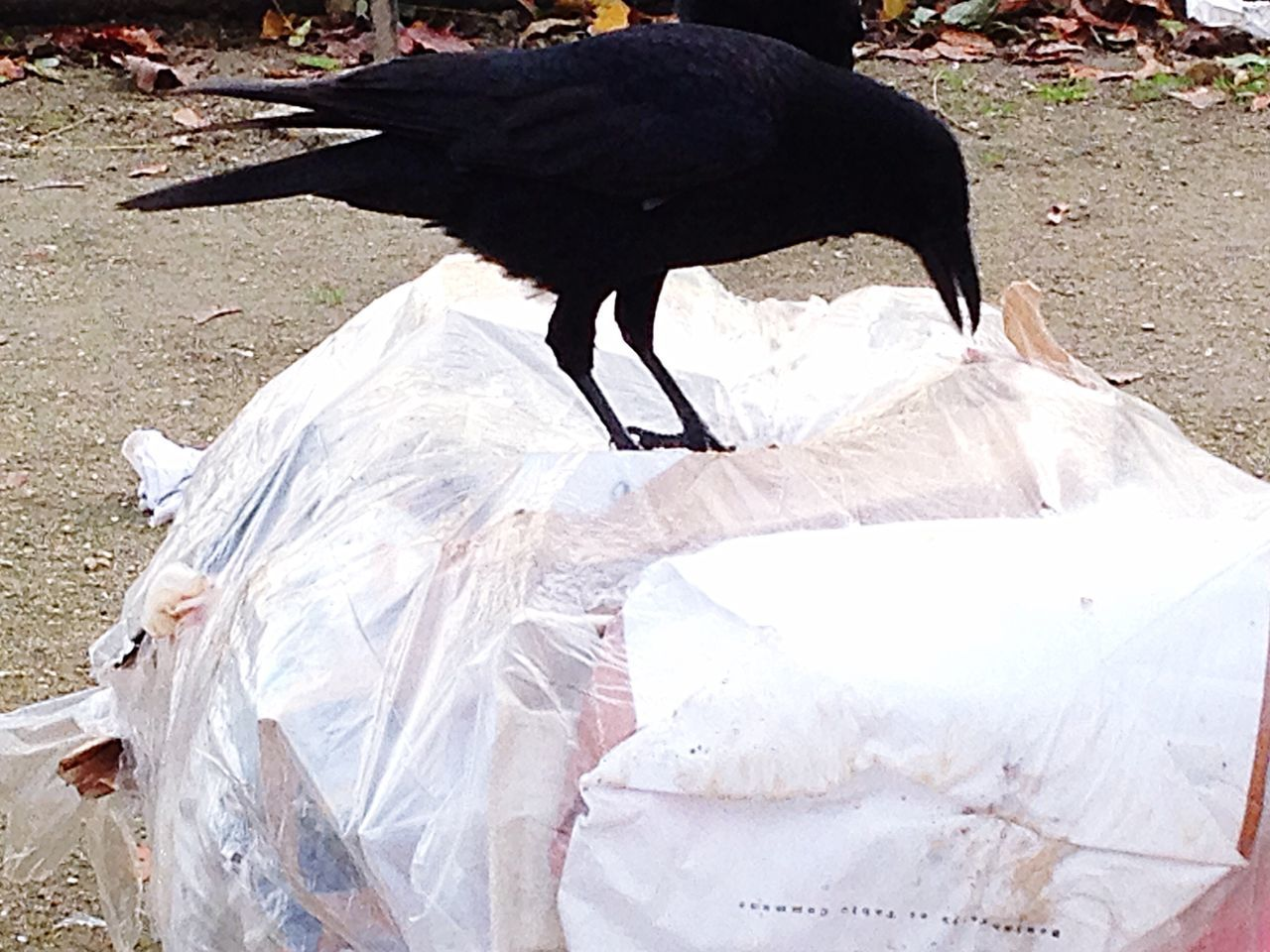 one animal, outdoors, black color, animal themes, day, bird, no people, nature, close-up