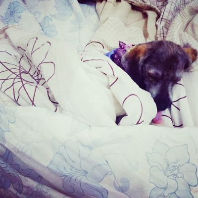 Deixa eu dormir mamãe. Dog Lhasa Bolota