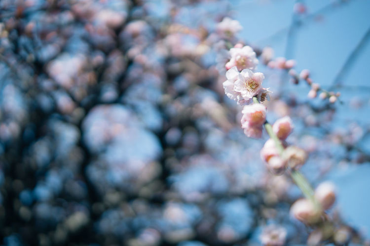 Beauty In Nature Blossom Branch Cherry Blossom Cherry Tree Close-up Day Flower Flower Head Flowering Plant Focus On Foreground Fragility Freshness Growth Nature No People Outdoors Petal Plant Selective Focus Springtime Tree Vulnerability