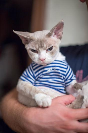 holding on Dressed Up Tshirt Cat Cats Close-up Cute Devonrex Domestic Cat Feline Holding Human Hand Indoors  Kitten Mammal Pets Stripes Pattern