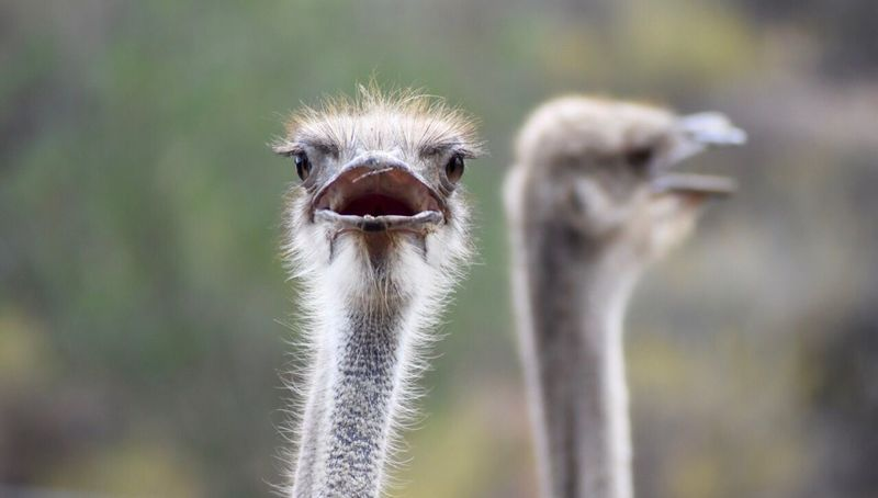 Erstaunlicher Gesichtsausdruck vom Strauß Ostrich Animal Themes Bird Strauss Strauss Straussenvogel Gesichtsausdruck