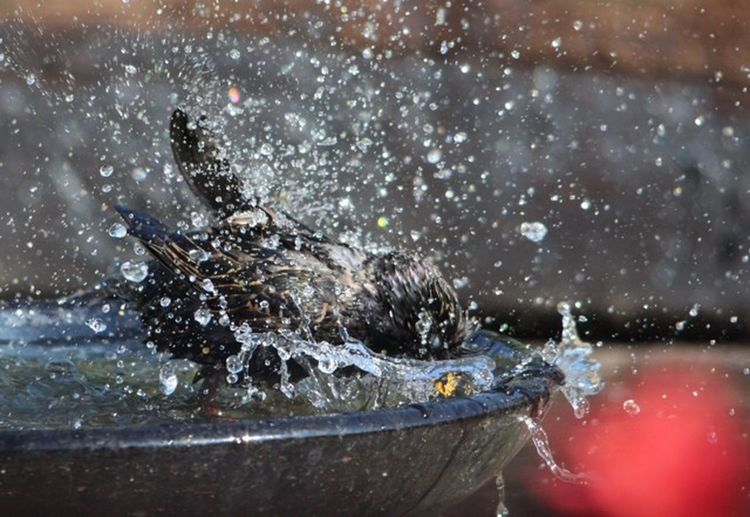 Starling Water Splashing Nature No People Motion Animal Themes Outdoors