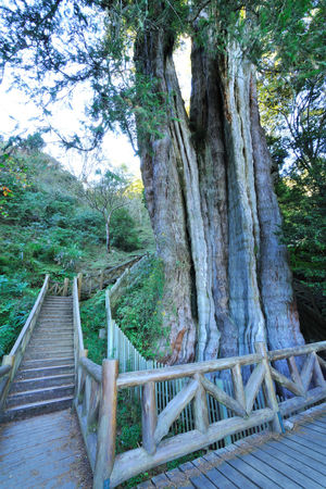 Tall Shenmu, in the forest Magnificent Shenmu Taiwan Tree YuShan Yushan National Park Beauty In Nature Day Forest Growth Huge Landscape Nature No People Outdoors Peaceful Sky Trail Tranquility Tree Tree Trunk Wood - Material