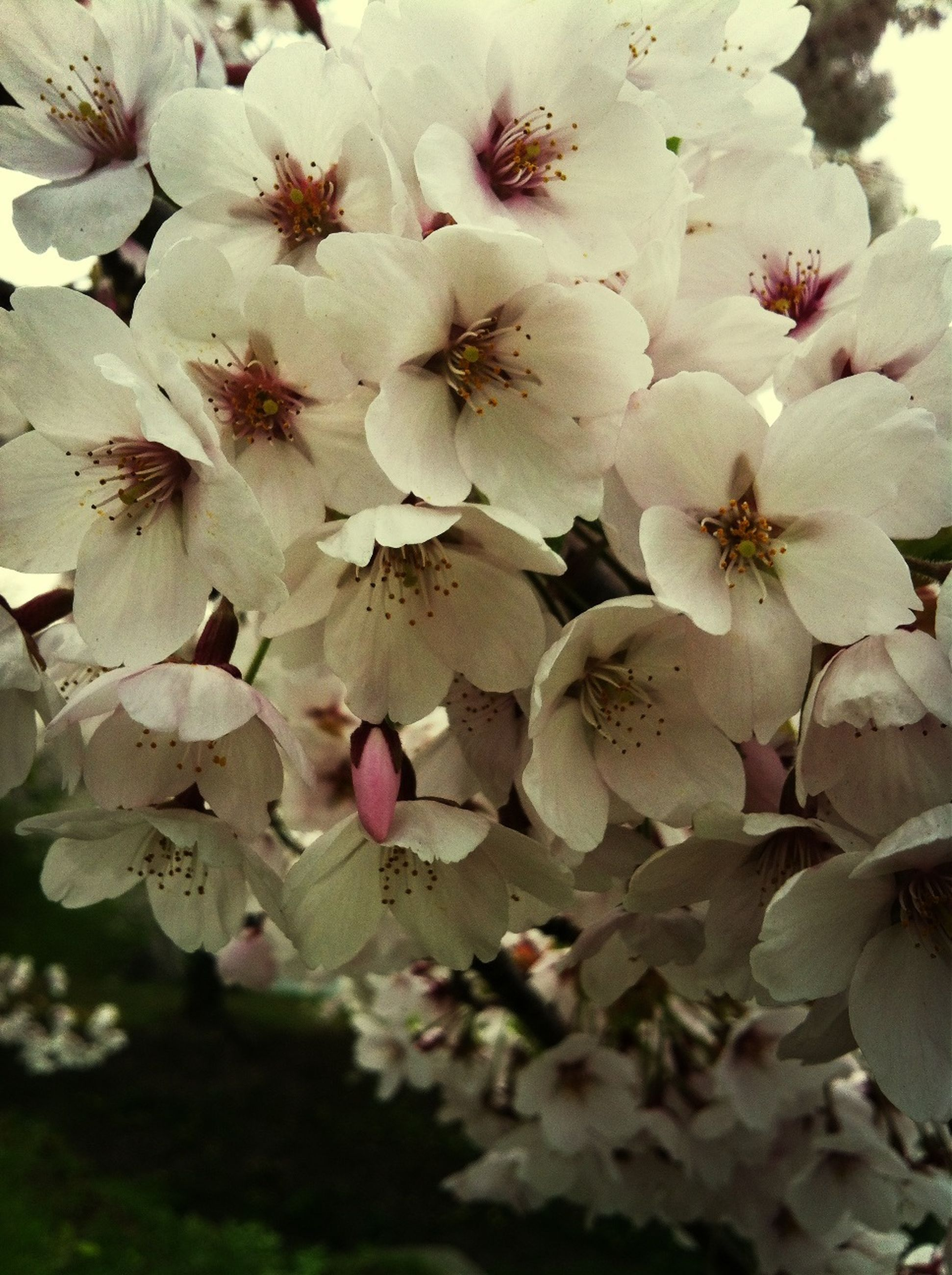 flower, freshness, growth, fragility, beauty in nature, petal, nature, close-up, cherry blossom, white color, pink color, blossom, blooming, branch, cherry tree, tree, flower head, focus on foreground, in bloom, springtime