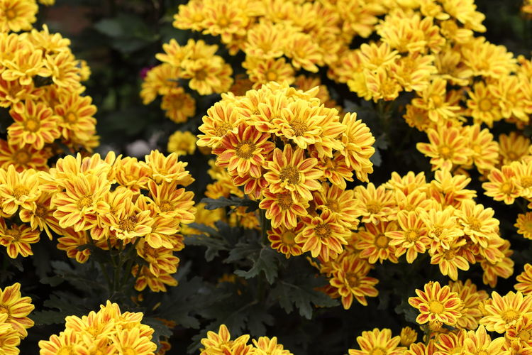 Chrysanthemum Flower Garden Flowers Beautiful Plant Autumn Blossom Floral Fall Background Bloom Orange Nature Beauty Bouquet Pink Green Color Chrysanthemums Pattern Fresh Summer Bright Outdoor Botany Colorful Flora Season  Blooming Decoration Close Up Natural Decorative Closeup Bunch Vibrant Gardening Petal Botanical Many Spring Water Drop Yellow Golden Gold