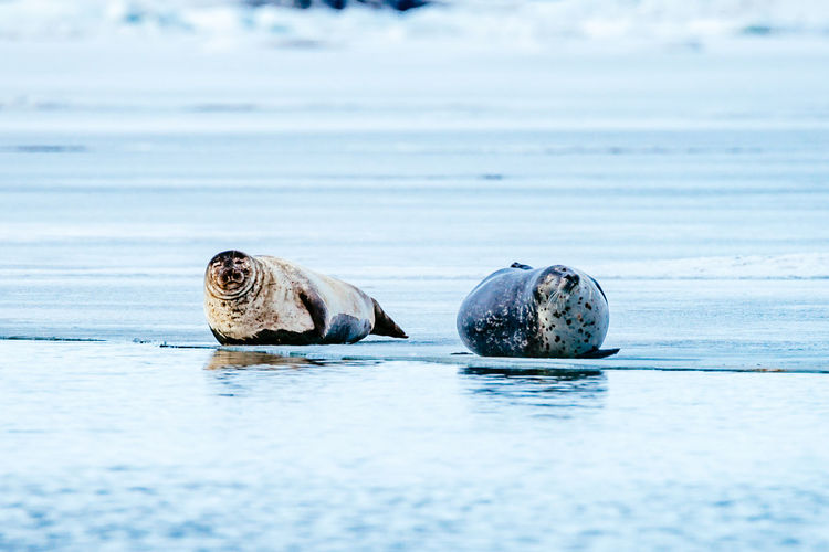 Seals relaxing at frozen jokulsarlon lake