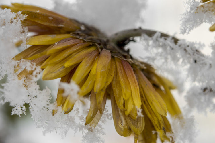 Close-up of snowflake on yellow flower