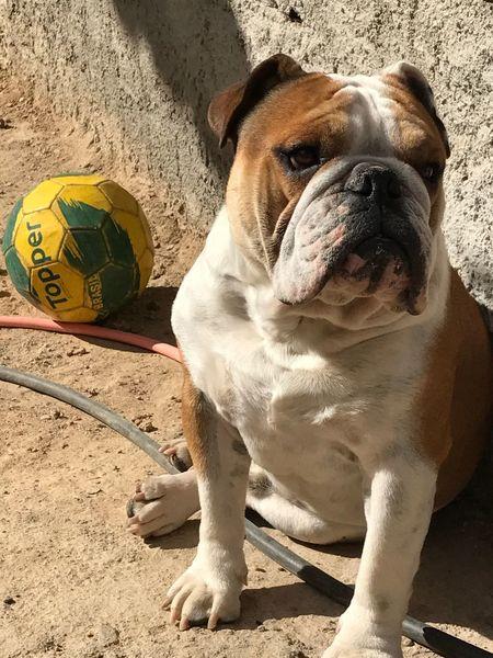 Bulldog Bulldogingles Dog Domestic Animals Pets Pet Portraits