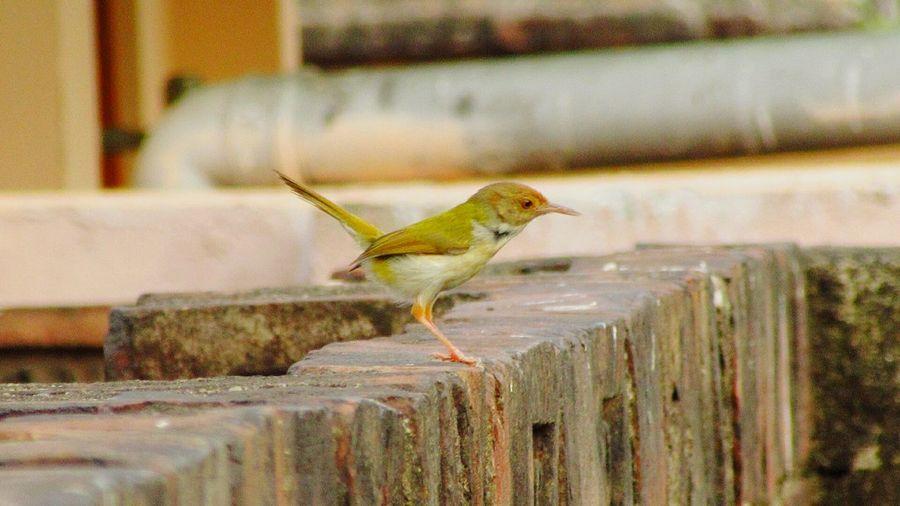 Tailorbird perching on retaining wall