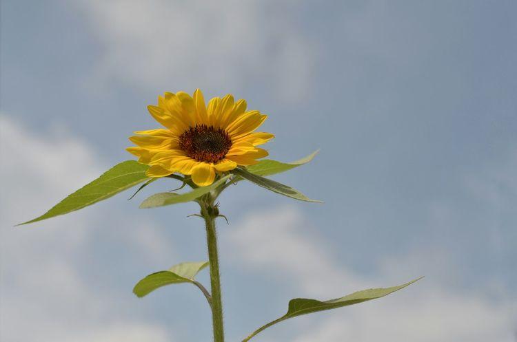 夏の花 ひまわり Sunflower🌻 Summer Flowers Sky And Flower Lookingup Flower Sky And Clouds Summer Days Summer2016 From My Point Of View Beauty In Nature Nature Photography EyeEm Nature Lover EyeEm Best Shots