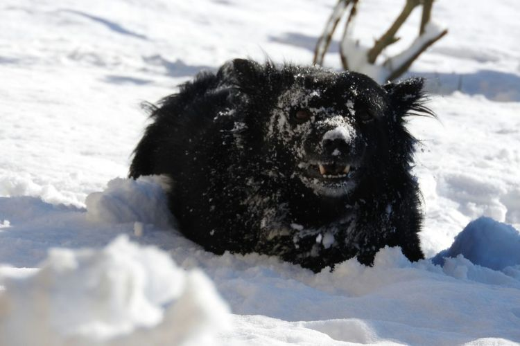 Doglove snow too Snow Cold Temperature Winter Black Color Dog Animal Themes Outdoors Pets One Animal Doglovesnow Playinginthesnow Doggy ♥ DoggyLove Blacknwhite Snow ❄ Dog Love Snow Dog Playing In Snow