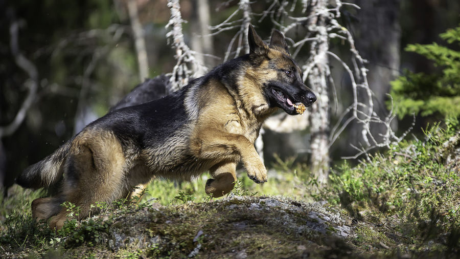 Aggression  Animal Animal Themes Animal Wildlife Animals In The Wild Canine Day Dog Domestic Animals Forest German Shepherd Land Mammal Nature No People One Animal Pets Plant Rock Rock - Object Tree Vertebrate