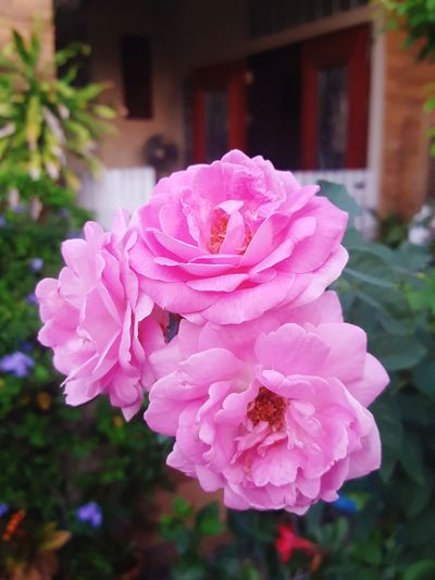 Pink roses Pink Color Flower No People Focus On Foreground Outdoors Nature Beauty In Nature Day Plant Close-up Peony  Flower Head Fragility Roses🌹 Rose - Flower Roses, Flowers, Nature, Garden, Bouquet, Love, Roses_collection