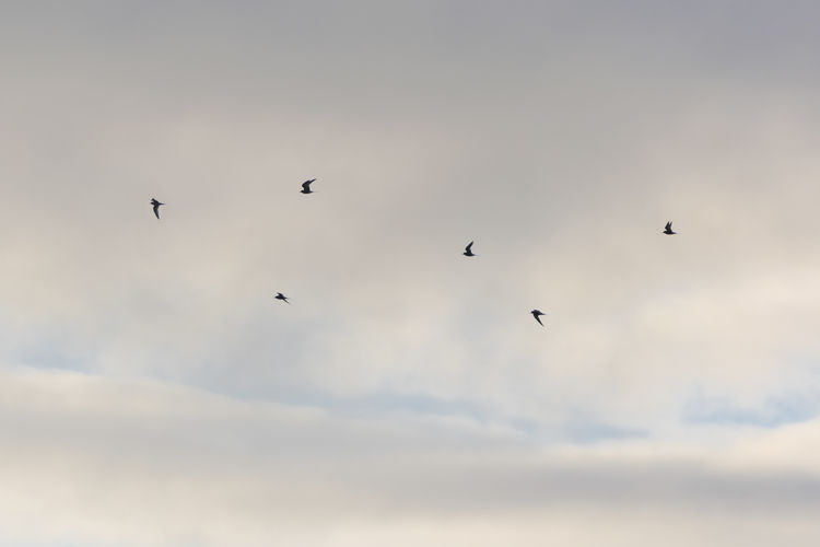 Arctic terns flying Animal Themes Animal Wildlife Animals Animals In The Wild Arctic Summer Arctic Tern Beauty In Nature Bird Birds Birds In Flight Cloud Cloud - Sky Cloud And Sky EyeEmNewHere Flying Freedom Low Angle View Minimal Minimalism Minimalist Minimalistic Sky Spread Wings Tranquility