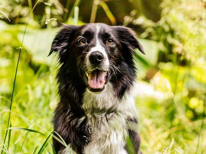 Collie Mix Dog outdoors looking at camera Collie Dog Pet Portraits Animal Themes Black Color Close-up Day Dog Dog Portrait Domestic Animals Focus On Foreground Growth No People One Animal Outdoors Panting Pets Portrait
