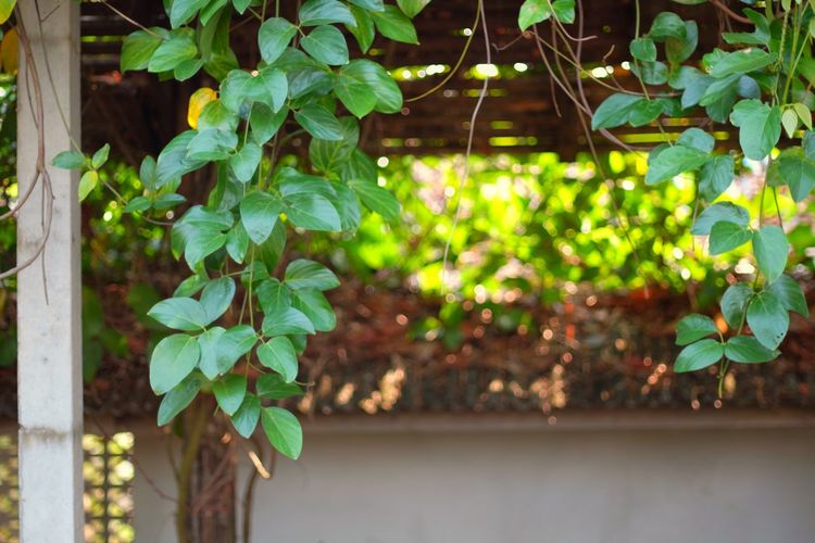 Close-up of ivy growing in yard