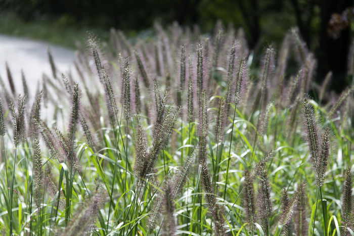 view in Mudeungsan Mountain in Gwangju, Jeonnam, South Korea Gwangju Mudeungsan National Park Beauty In Nature Close-up Day Field Foxtail Freshness Giant Foxtail Growth Nature No People Outdoors Plant Tranquility