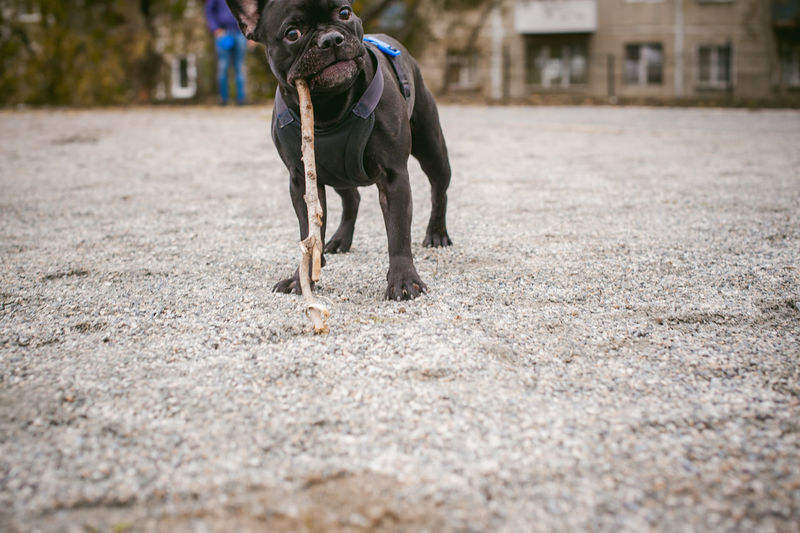 Portrait of dog carrying stick in mouth on sand