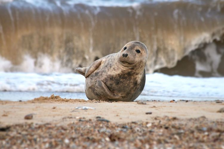 Smiling Seal One Animal Animals In The Wild Beach Sea Animal Themes Animal Wildlife Nature Sand Day Seal No People Outdoors Water Seal - Animal Sea Life Sea Lion Mammal Aquatic Mammal Looking At Camera Close-up Smiling Seal