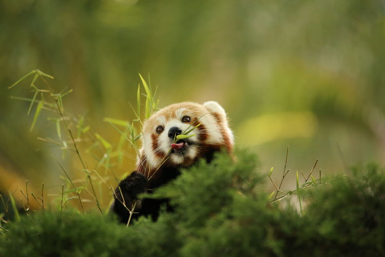 Close-up of red panda in grass