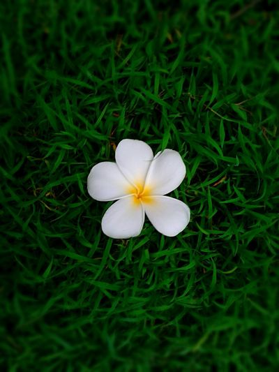 Close-up of white flower blooming in grassy field