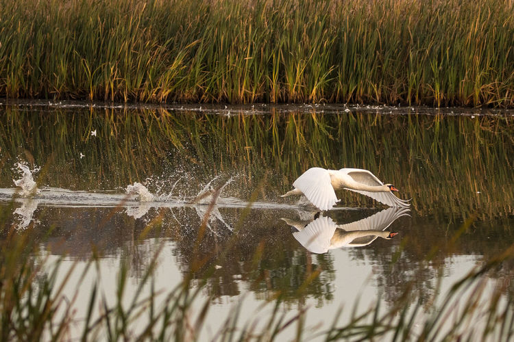 Water Bird Lake Animals In The Wild Vertebrate Animal Themes Animal Wildlife Animal Group Of Animals Reflection Waterfront Day Plant Nature No People Beauty In Nature Swan Water Bird Grass Outdoors Cygnet