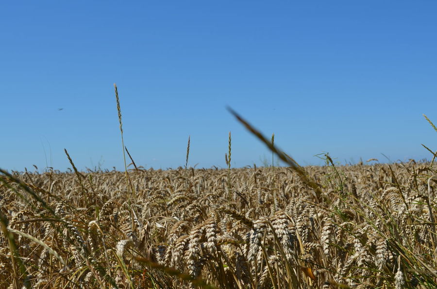 Kornfield Wheat Agriculture Beauty In Nature Cereal Plant Clear Sky Field Growth Korn Kornfeld Landscape Nature No People Outdoors Plant Sky Weizen Wheatfield Wheatfields