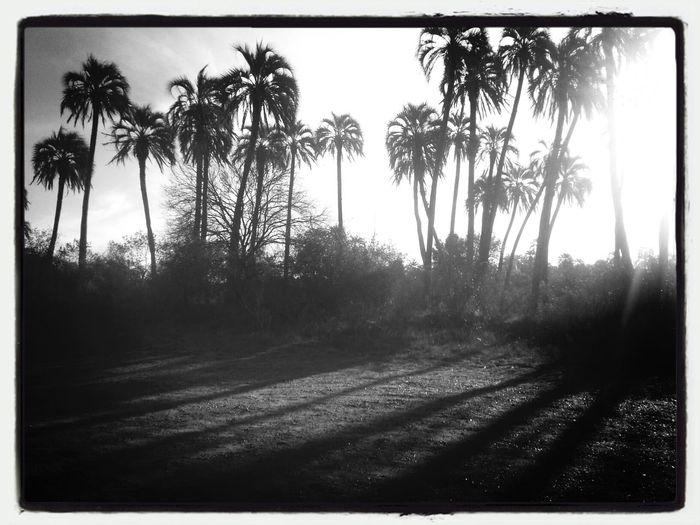 Palmeras Palm