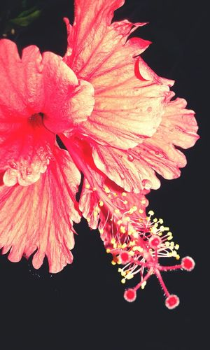 Hibiscus flower.. After a heavy rain... droplets on the petals......
