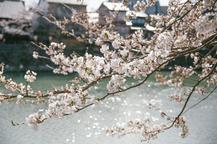 Springtime Cherry Blossoms EyeEm Best Shots EyeEm Nature Lover EyeEm Selects EyeEmBestPics Japan Sakura TheWeekOnEyeEM Outdoors Sakura Blossom Spring Springtime