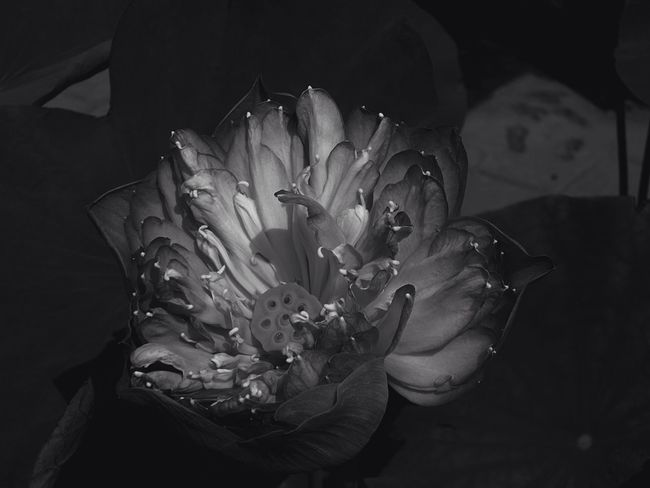 in dark there is light.. darkness and light Dark Blackandwhite High Angle View Indoors  No People Flower Close-up Beauty In Nature Flower Head Nature