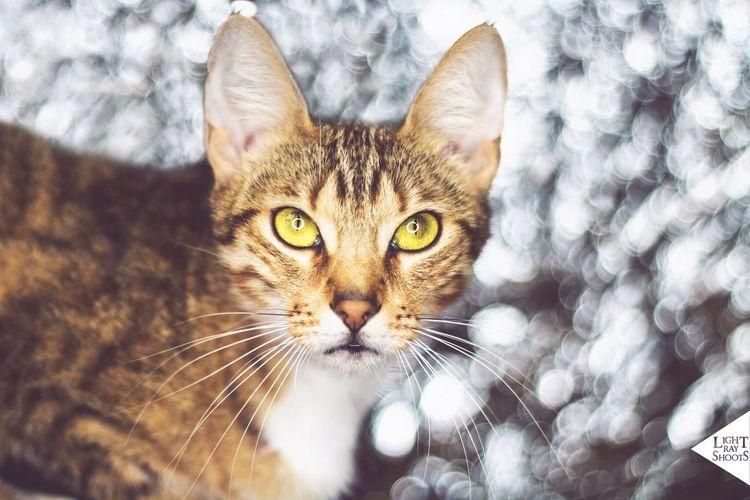 // Nike // Nike Cat Girl Snapshots Of Life One Animal Pets Animal Themes Portrait Mystyle Mycat Beauty OneLove Braunschweig Photography Photooftheday Photographer Canon Ringlight Indoors  Model LightRayShoots