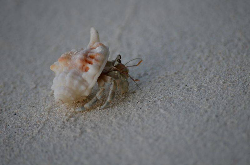 Hermit crab Beach Sand Ocean Hermit Maldives Crab Hermit Crab Animal Themes Sand Close-up One Animal No People Animals In The Wild Beach Day Nature Sea Life Outdoors