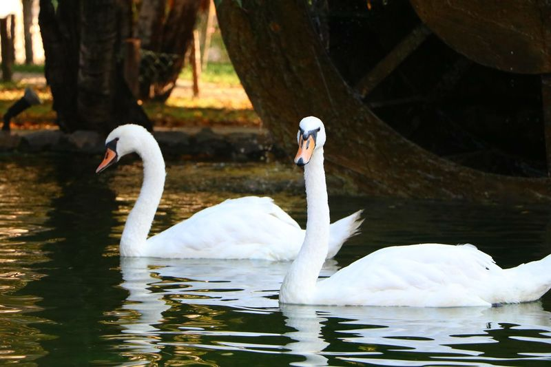 Bird Animal Swan Animal Wildlife Animals In The Wild Lake Water Beak Nature Beauty Swimming No People Outdoors Close-up Day