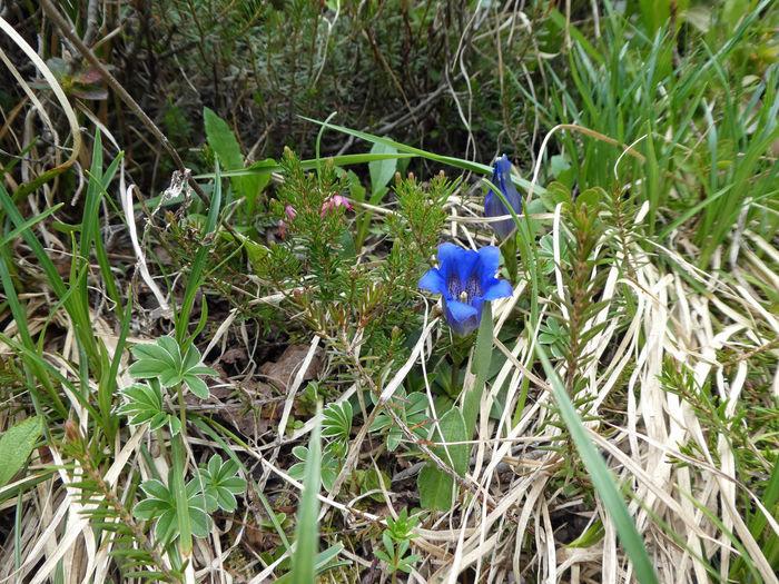 Beauty In Nature Bergwelten Alpenwelt Gentian Gentian Blue Gentian Flower Enzian Vorarlberg  Alps Alpine Alpine Landscape Flower Head Flower High Angle View Blue Close-up Plant Wildflower Blooming In Bloom