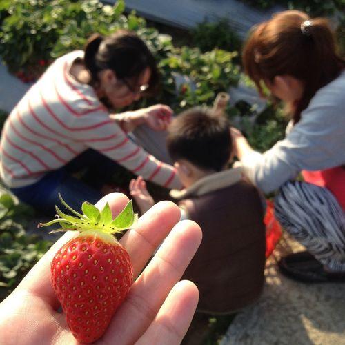 採草莓 Strawberry Family Winter