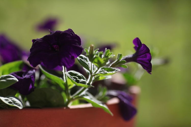 Flower Flowering Plant Plant Beauty In Nature Vulnerability  Fragility Freshness Purple Growth Close-up Petal Nature Inflorescence Focus On Foreground Plant Part Flower Head No People Leaf Selective Focus Outdoors