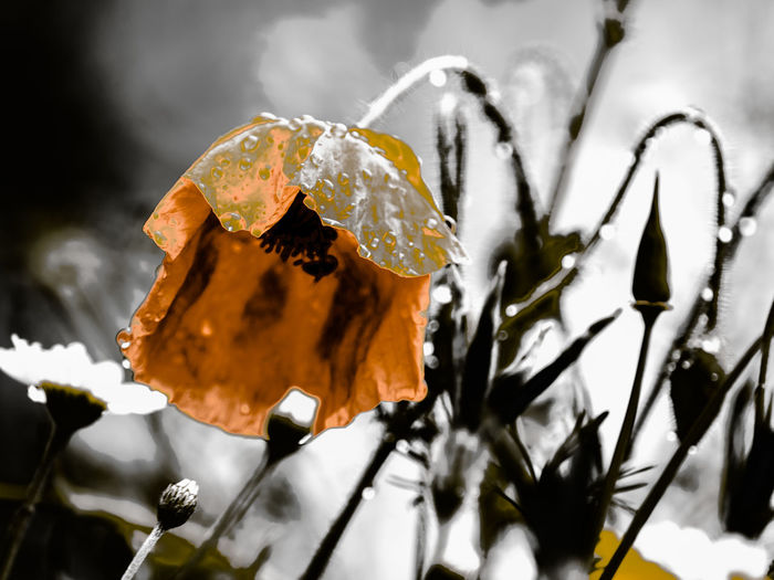 poppy Beauty In Nature Close-up Cold Temperature Day Focus On Foreground Food Food And Drink Freshness Growth Ice Leaf Nature No People Orange Color Outdoors Plant Plant Part Purity Selective Focus Winter
