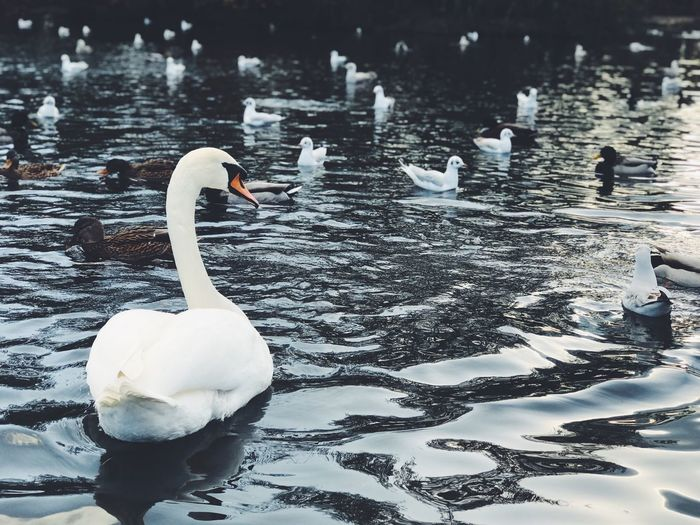Animals In The Wild Water Bird Animal Wildlife Lake Animal Themes Animal Vertebrate Swan Group Of Animals Nature Swimming White Color Water Bird No People Winter Waterfront Cold Temperature Duck Floating On Water My Best Photo