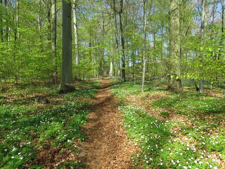 Forest Wood Anemones Beech Forest Oak Trees Light Green Spring Amazing Outdoors Trekking Path