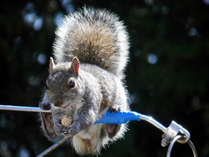 Just hanging around... squirrel eating a peanut perched on a metal pole closeup focus on the foreground EyeEm nature lover outdoors Animal Themes One Animal Rodent No People