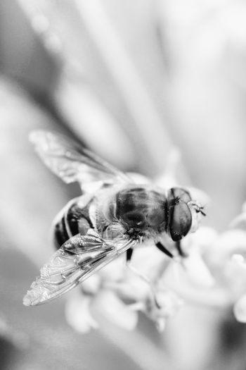 Invertebrate Animal Themes Insect One Animal Animals In The Wild Animal Wildlife Animal Close-up Selective Focus Flower Flowering Plant Bee Beauty In Nature No People Nature Fragility Animal Wing Pollination Bnw_friday_eyeemchallenge Bnw_insects Macro_collection Macro Macro Perfection