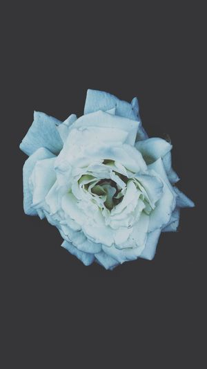 White Rose Close-up Black Background Inflorescence Flower Head Petal Rosé No People Plant Beauty In Nature Flower Rose - Flower Fragility Vulnerability  Flowering Plant Nature Freshness Single Object Still Life