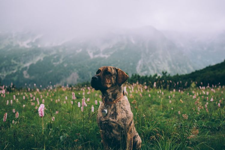 Dog on field against mountain range