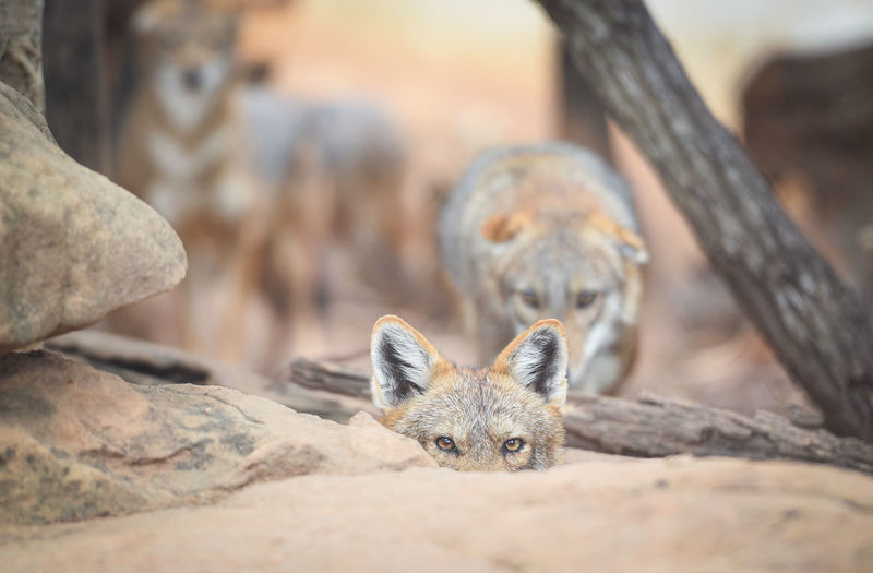 Portrait of foxes on land