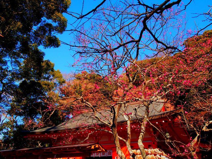 Plum Blossom Shrine Japanese Shinto Shrine Nature_collection