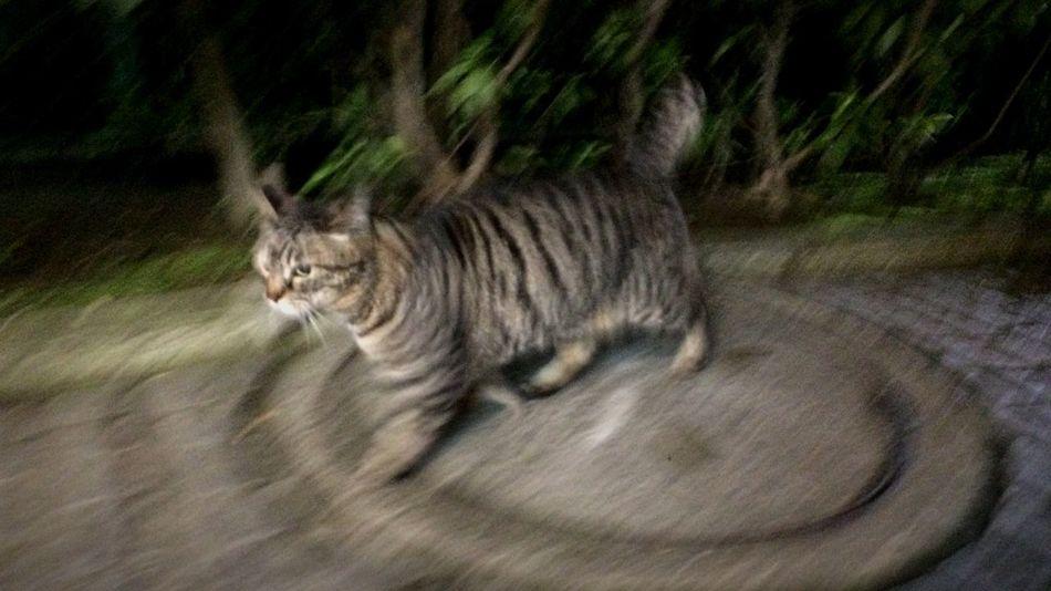 Stray Cat 野良猫 キジトラ 走り猫 夜ねこ