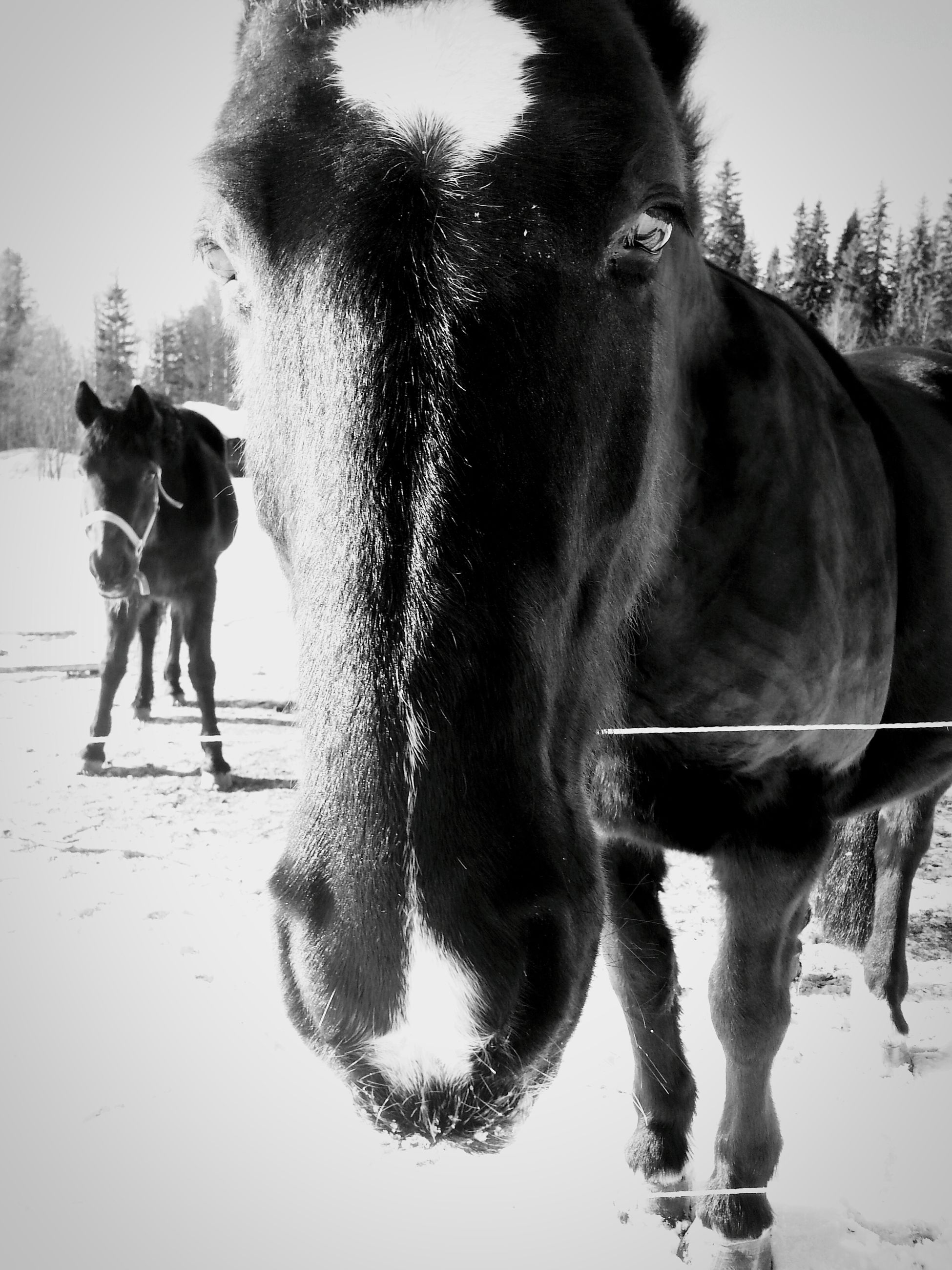 domestic animals, animal themes, mammal, horse, one animal, standing, working animal, two animals, livestock, pets, dog, field, herbivorous, walking, outdoors, black color, portrait, day, focus on foreground, full length